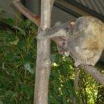 koalas10