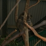 koalas3