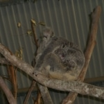 koalas5