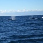 whale watching4