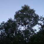 koala_liberi1