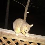 opossum3