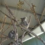 koalas1