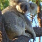 koala_liberi11