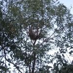 koala_liberi2