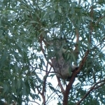 koala_liberi4