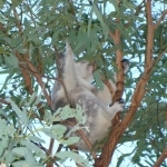 koala_liberi5